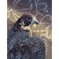 Canyon Spirit- (peregrine falcon)